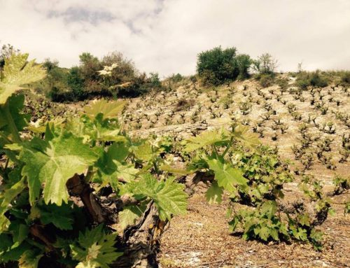 Cypriot wine: Going Native